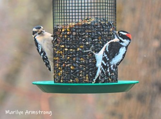 300-two-woodpeckers-tuesday-birds-01292019_320