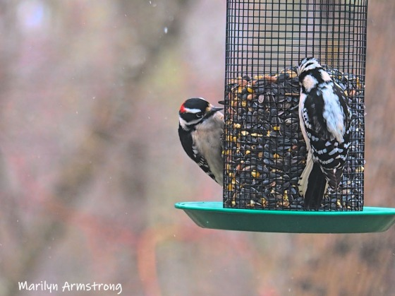 Two woodpeckers!