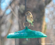 300-warbler-or-goldinch-hungry-birds-01222019_076