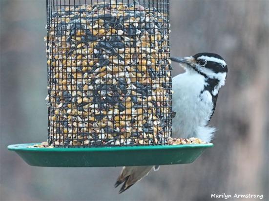 300-woodpeccker-01012019_024