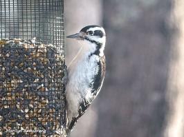300-woodpecker-01132019_152