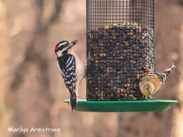 Woodpecker with a black sunflower seed and a goldfinch (I think)