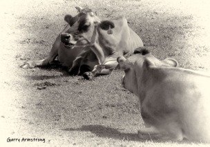 Farm cows -- with horns! Photo Garry Armstrong