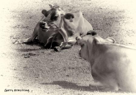 180-BW-Cows-GA-Farm-081614_37