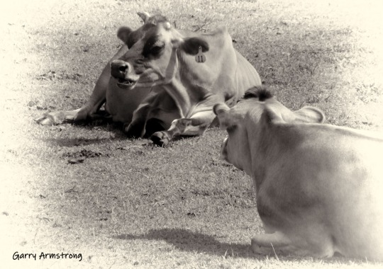 180-BW-Cows-GA-Farm-081614_37