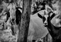 Black & White goats
