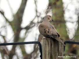 Our perching Mourning Dove