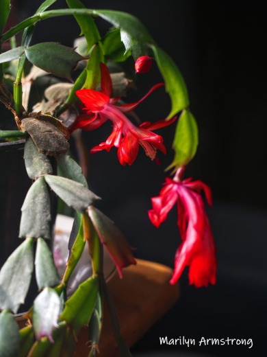 300-blooming-cactus-02282019_012