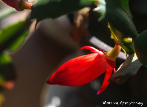 300-buds-blooming-cactus-02262019_003