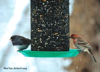 Junco and I think a House Finch