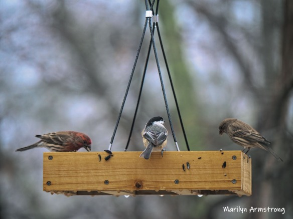 300-finches-nuthatch-rain-and-birds-02242019_009