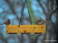300-finches-rain-and-birds-02242019_007