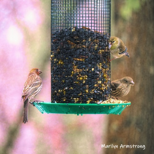 300-finches-rain-and-birds-02242019_045