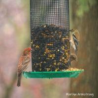 300-finches-square-rain-and-birds-02242019_042
