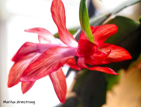 300-full-more-blooming-cactus-02232019_008