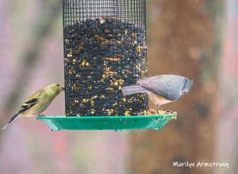 300-goldfinch-titmouse-rain-and-birds-02242019_147