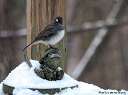 Junco atop the Toad