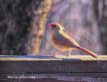 Sunshine on a lady Cardinal