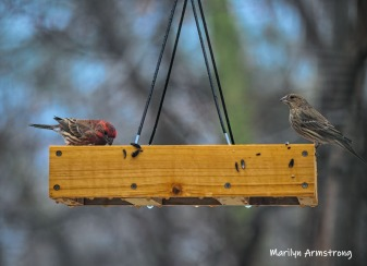 300-mated-house-finches-rain-and-birds-02242019_011