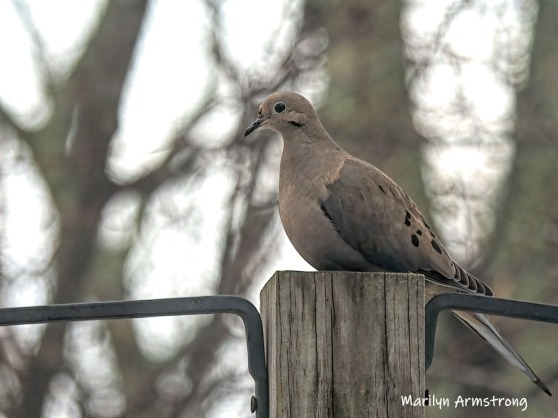 300-mourning-dove-wednesday-02132019_101