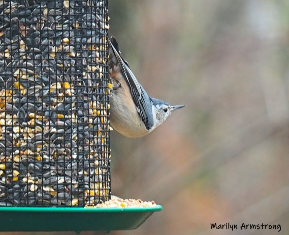 300-nuthatch-birds-first-thursday02072019_008