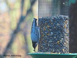 300-nuthatch-friday-morning-birds-02082019_016