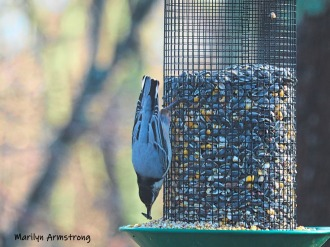 300-nuthatch-friday-morning-birds-02082019_016