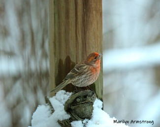 300-red-finch-toad-monday-snow-birds-ii-02182019_222