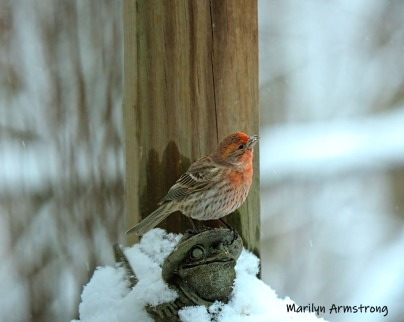 Red Finch atop Toad