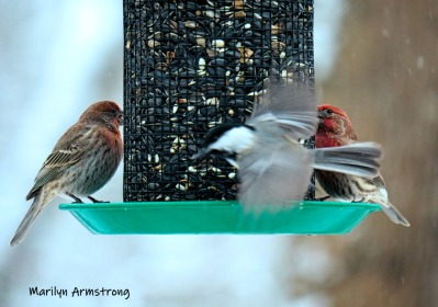 300-red-finches-flying-chickadee-monday-snow-birds-ii-02182019_207