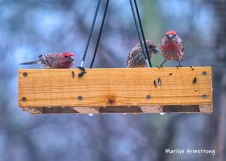 300-red-finches-rain-and-birds-02242019_015