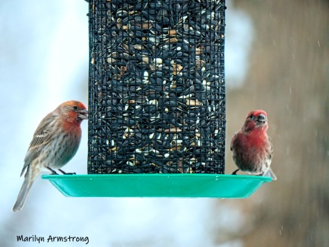 Two Red House Finches