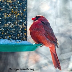 300-square-cardinal-frozen-monday-birds-01212019_060