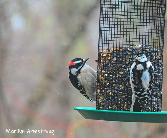A pair of (I think) Hairy Woodpeckers