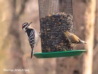 300-woodpecker-goldfinch-last-monday-birds-01282019_071