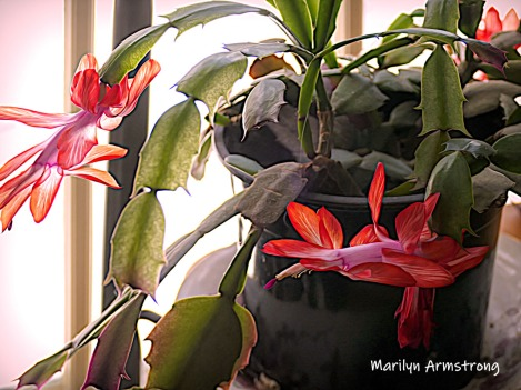 180-New-Full-Blooming-Cactus-03062019_016