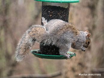300-hanging-feeder-squirrel-03312019_134