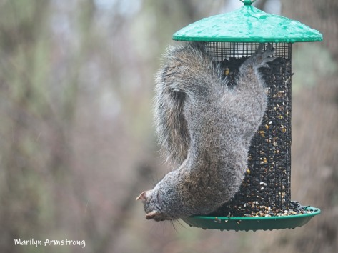 300-hanging-feeder-squirrel-03312019_141