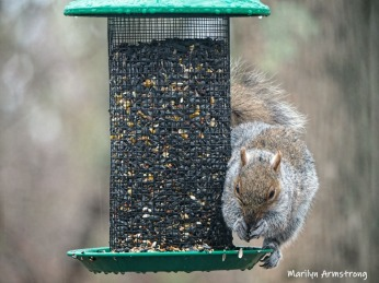 300-hanging-feeder-squirrel-03312019_150