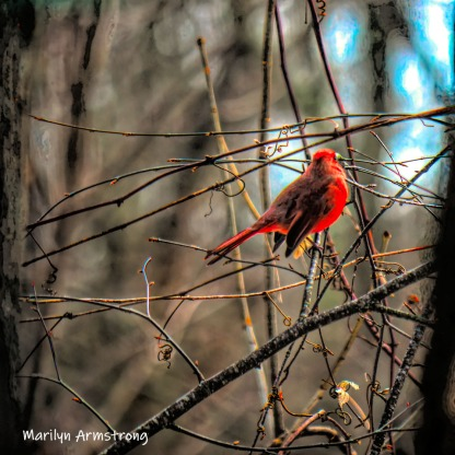 Cardinal in the woods