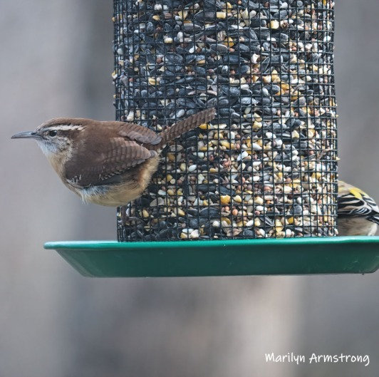 300-square-carolina-wren-03282019_103