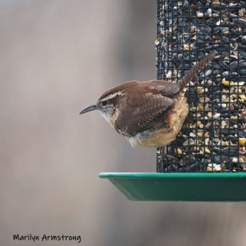 300-square-carolina-wren-03282019_105