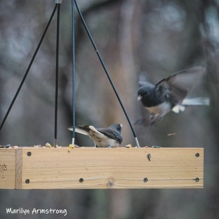 300-square-double-flying-junco-03292019_018