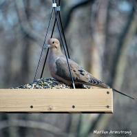 300-square-dove-03282019_209