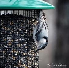 Nuthatch on feeder
