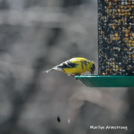 Brightest Goldfinch