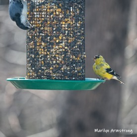 Goldfinch and a Nuthatch