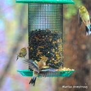 300-square-goldfinches-flying-many-birds-02242019_02