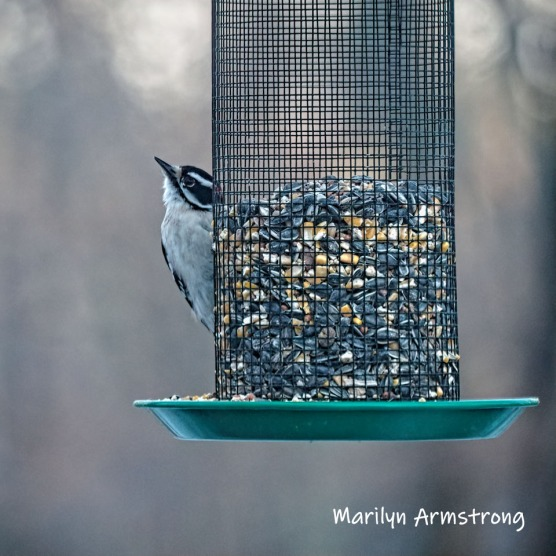 300-square-hairy-woodpecker-03122019_106
