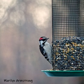 300-square-hairy-woodpecker-03122019_110
